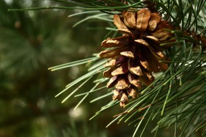 Photo of Pine Needles and Cone Creative Commons xmoto3