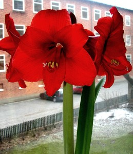 Photo of Amaryllis Flower Photo Credit Creative Commons Per Ola Wilberg
