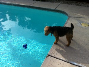 Photo of Cardiff Stares at His Kitty Toy in the Pool