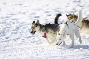 Photo of Sled Dogs in Action