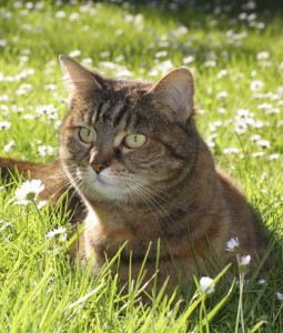 beauty-domestic-cat-on-grass-2